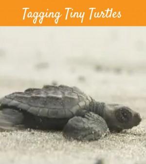 Tagging Tiny Turtles