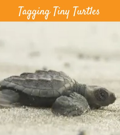 Tagging Tiny Turtles